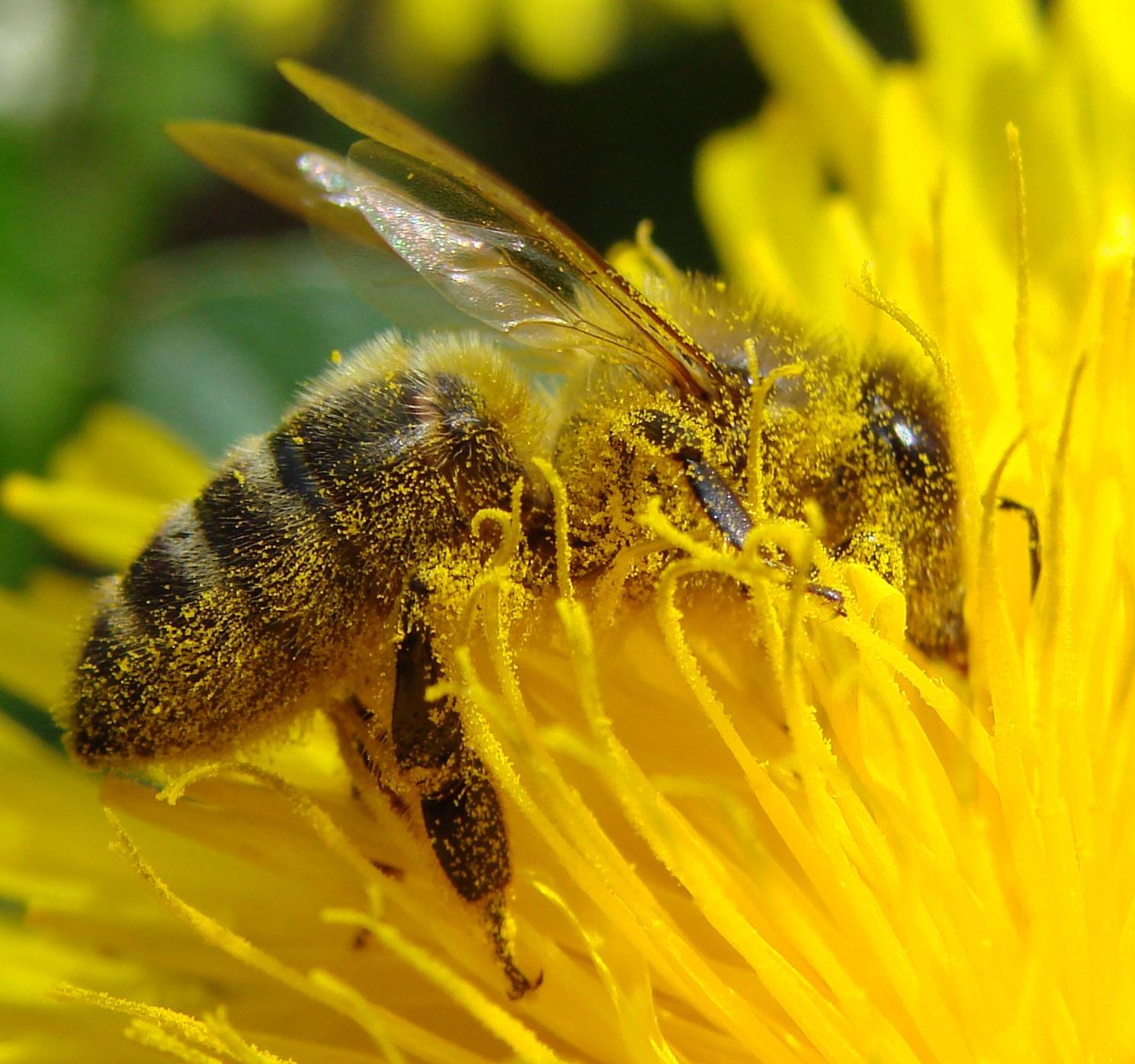 Pollination_Bee_Dandelion_Zoom