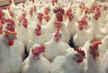 Chicken Meat Contains Cancer-causing Arsenic, Claims The FDA